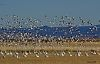 Snow Geese- Lift Off