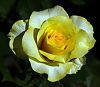 Fading Yellow Rose