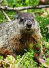 A Young Groundhog