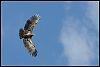 (In Flight) Immature Bald Eagle, Osprey