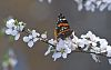 Red Admirals and Question Mark