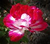 Red verigated Rose