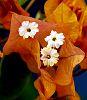 Triple flowered Golden Bouganvillea