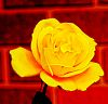 Yellow Rose in HDR