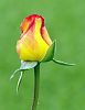Single Red & Yellow Bud