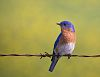 Eastern blue Bird And more