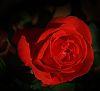 Burnt Orange Rose