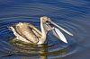 A Pelican Tale