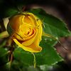 Tight Yellow Rose Bud