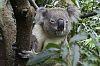 Just how much can a Koala Bear