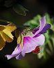 Dewey Native Hibiscus