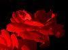 Flowing Red Petals