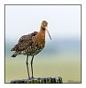 limosa / black tailed godwit