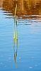 Reed in pool