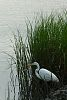 White Ibis, Great Egret