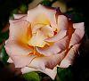 Last Peach Rose