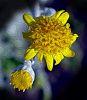 Smoke Bush Flower Abstract
