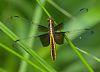 recent dragonflies