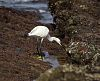 Little Egret working the shoreline