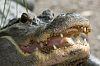 A Few Gators
