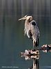 A few Great Blue Herons...........