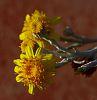 Flowers on a Smokebush