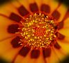 Gazania centre up close