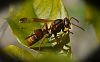 Dark coloured Paper Wasp