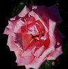 Dew covered Pink Rose