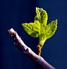New growth Fig Leaf