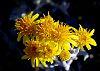 Golden Smokebush Flowers