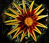 Gazania imitates the sun
