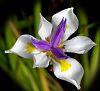 A Spring Iris