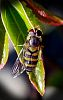 Golden Hoverfly