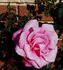 Huge Pink Rose