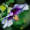 Pollen laden Hibiscus