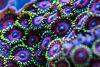 Coral macro