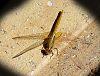 Golden Dragonfly sunning