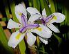Dual Irises