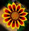 An Interesting Gazania