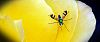 Green Stilt Fly on Yellow Rose