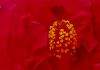 Red Hawiian Hibiscus Stamen