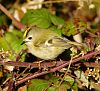 A set of Goldcrests