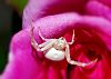 Crab Spider waits in ambush