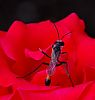 Wasp on a Red Rose