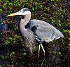Great Blue Heron taken 1/10/2013