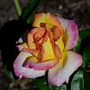 Multi-blended coloured Rose
