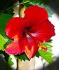 Evolving Hibiscus