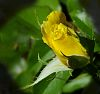 Furled Yellow Bud