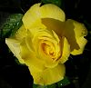 Bud turns to Yellow Rose for Susan